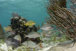Mutton Snapper and Blue Striped Grunt, Hol Chan Marine Reserve, Belize by Pete Oxford