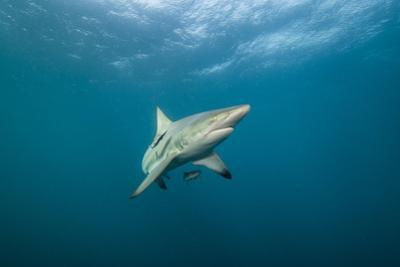 Oceanic Black-Tip Shark and Remora, KwaZulu-Natal, South Africa by Pete Oxford
