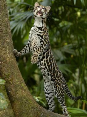 Ocelot (Felis / Leopardus Pardalis) Amazon Rainforest, Ecuador by Pete Oxford