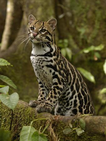 Ocelot (Felis Pardalis) Standing on Buttress Root, Amazon Rainforest, Ecuador by Pete Oxford