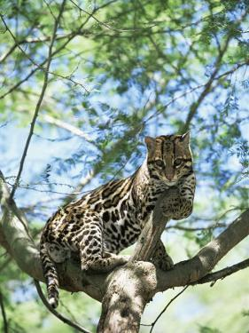 Ocelot in Tree by Pete Oxford