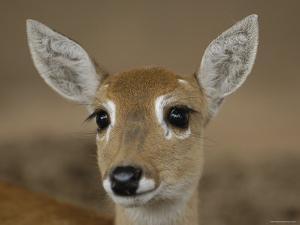 Pampas Deer, Fawn (Ozotoceros Bezoarticus) Serra Da Bodoquena, Mato Grosso Do Sur Province by Pete Oxford