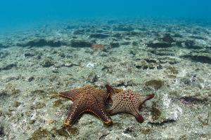 Panamic Cushion Star, Galapagos Islands, Ecuador by Pete Oxford