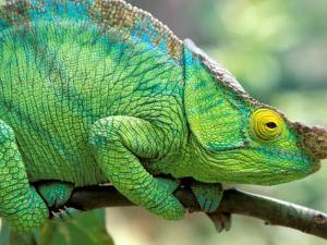 Parson's Chameleon, La Madraka Farm, Madagascar by Pete Oxford