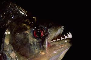 Piranha Portrait (Serrasalmidae) Captive Amazonia, Ecuador by Pete Oxford