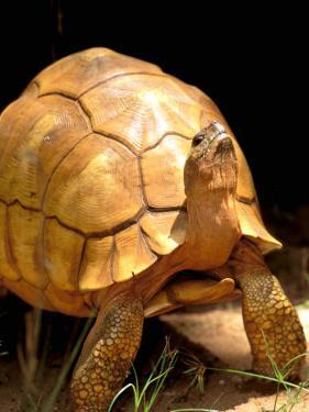Plough-share Tortoise, Ampijeroa Forest Station, Madagascar by Pete Oxford