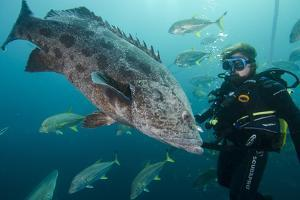 Potato Cod, Diver and Blacktip Trevally, KwaZulu-Natal, South Africa by Pete Oxford