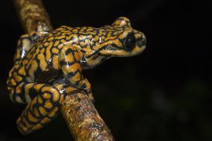 Prince Charles Stream Frog, Ecuador. Threatened Species Due to Habitat Loss by Pete Oxford