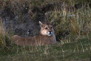 Puma Waiting, Torres del Paine NP, Patagonia, Magellanic Region, Chile by Pete Oxford