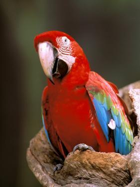 Red and Green Macaw, Amazon, Ecuador by Pete Oxford
