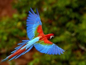 Red and Green Macaw (Ara Chloroptera) Flying, Mato Grosso Do Sul, Brazil by Pete Oxford