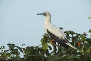 Red-Footed Booby White Morph in Ziricote Trees, Half Moon Caye Colony, Lighthouse Reef, Atoll by Pete Oxford
