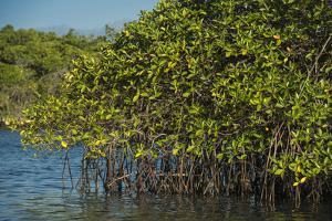 Red Mangrove (Rhizophora Mangle), Galapagos Islands, Ecuador by Pete Oxford