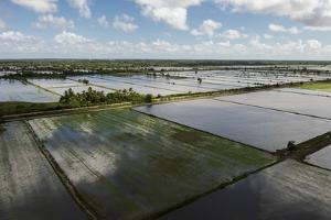Rice Production. East Demerara Conservancy, Guyana by Pete Oxford