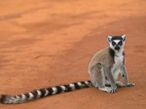 Ring-Tailed Lemur (Lemur Catta) Berenty Reserve, Madagascar by Pete Oxford