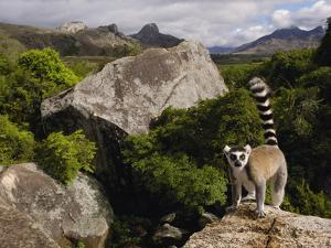 Ring-Tailed Lemur (Lemur Catta), Overlooking the Andringitra Mountains, Madagascar by Pete Oxford