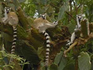 Ring-Tailed Lemur (Lemur Catta) Resting in Large Cactus, Berenty Reserve, Madagascar by Pete Oxford
