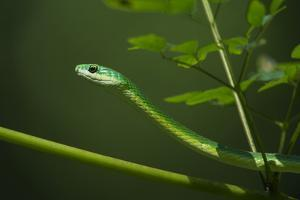 Rough Green Snake, Opheodrys Aestivus, Captive, Northern. Georgia, USA by Pete Oxford