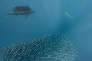 Sailfish and Bronze Whaler Shark Feeding, Eastern Cape, South Africa by Pete Oxford