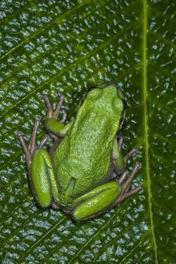 San Lucas Marsupial Frog, Andes, Ecuador by Pete Oxford
