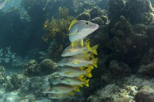 Schoolmaster, Half Moon Caye, Lighthouse Reef, Atoll, Belize by Pete Oxford