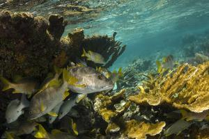 Schoolmaster in Elkhorn Coral, Hol Chan Marine Reserve, Belize by Pete Oxford