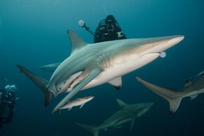 Shark and Remora, Shark Dive, Umkomaas, KwaZulu-Natal, South Africa by Pete Oxford