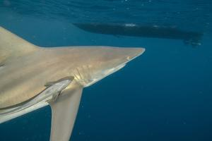 Shark and Remora, Shark Dive, Umkomaas, KwaZulu-Natal, South Africa by Pete Oxford