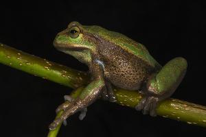 Silver Marsupial Frog Base of Chimborazo Volcano, Andes, Ecuador by Pete Oxford