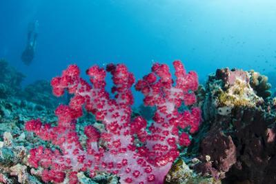 Soft Coral (Dendronephthya), Rainbow Reef, Fiji by Pete Oxford