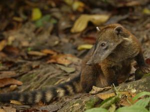 Southern Coati, Amazonia, Ecuador by Pete Oxford