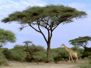 Southern Giraffe and Acacia Tree, Okavango Delta, Botswana by Pete Oxford