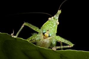 Spine-Headed Katydid Nymph, Yasuni NP, Amazon Rainforest, Ecuador by Pete Oxford