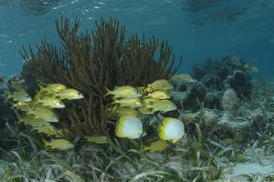 Spotfin Butterflyfish and French Grunt, Half Moon Caye, Lighthouse Reef, Atoll, Belize by Pete Oxford