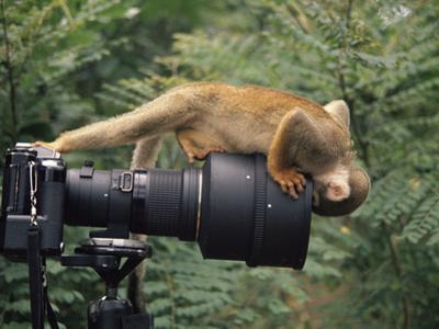 Squirrel Monkey, Investigates Camera, Amazonia, Ecuador by Pete Oxford