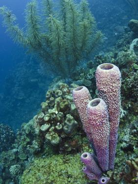 Stove-Pipe Sponge (Aplysina Archeri), Bonaire, Netherlands Antilles, Caribbean by Pete Oxford