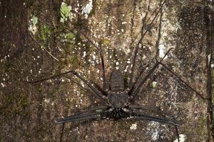 Tailless Whip Scorpion, Yasuni NP, Amazon Rainforest, Ecuador by Pete Oxford