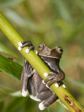 Tapichalaca Tree Frog, Tapichalaca Biological Reserve, Zamora-Chinchipe, Ecuador by Pete Oxford