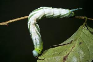 Tobacco Hornworm Caterpillar, Yasuni NP, Amazon Rainforest, Ecuador by Pete Oxford