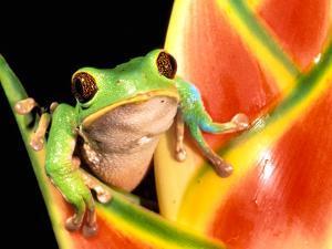 Tree Frog, Amazon, Ecuador by Pete Oxford
