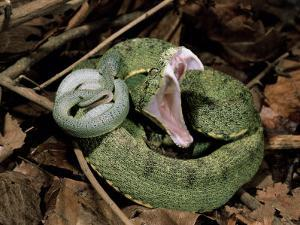 Two Striped Forest Pit Viper Snake with Young, Fangs Open, Amazon Rainforest, Ecuador by Pete Oxford