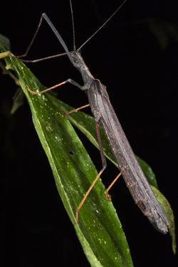 Walking Stick Insect, Yasuni NP, Amazon Rainforest, Ecuador by Pete Oxford
