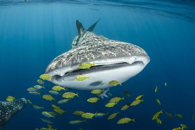 Whale Shark and Golden Trevally, Cenderawasih Bay, West Papua, Indonesia