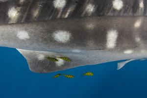 Whale Shark and Golden Trevally, Cenderawasih Bay, West Papua, Indonesia by Pete Oxford