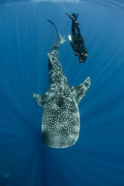 Whale Shark and Tourist. Cenderawasih Bay, West Papua, Indonesia by Pete Oxford