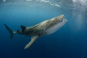 Whale Shark, Cenderawasih Bay, West Papua, Indonesia by Pete Oxford