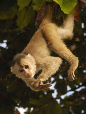 White-Fronted Capuchin Monkey Hanging From a Tree, Puerto Misahualli, Amazon Rain Forest, Ecuador by Pete Oxford