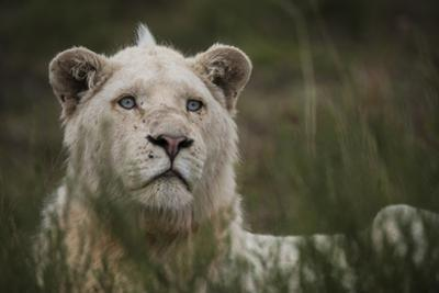 White Lion, Inkwenkwezi Game Reserve, Eastern Cape, South Africa by Pete Oxford