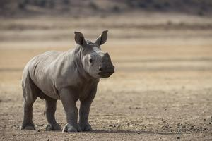 White Rhinoceros Calf (Ceratotherium Simum) Great Karoo. Private Reserve by Pete Oxford