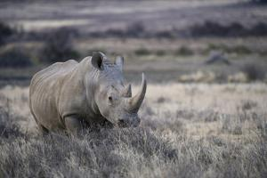 White Rhinoceros, Great Karoo Private Reserve, South Africa by Pete Oxford